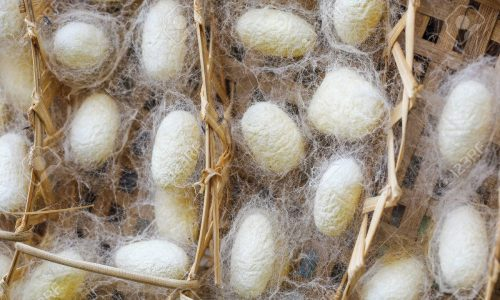 Close Up of silk worm cocoons nests in bamboo basket